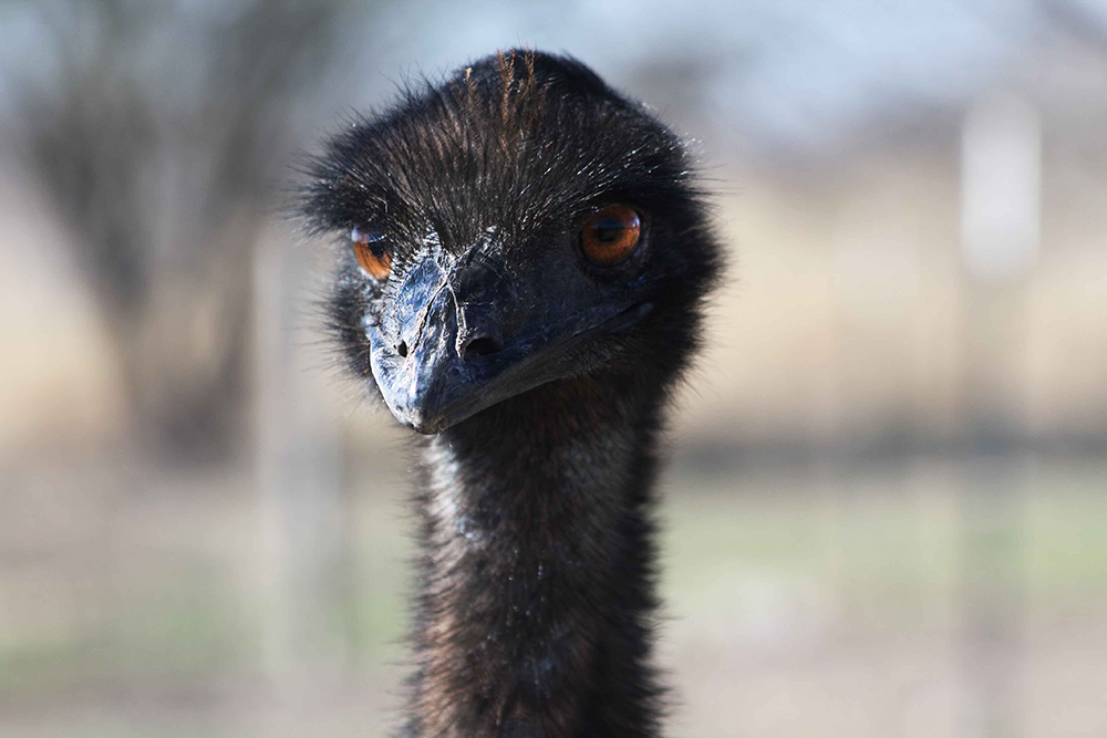 angry_negative_emu